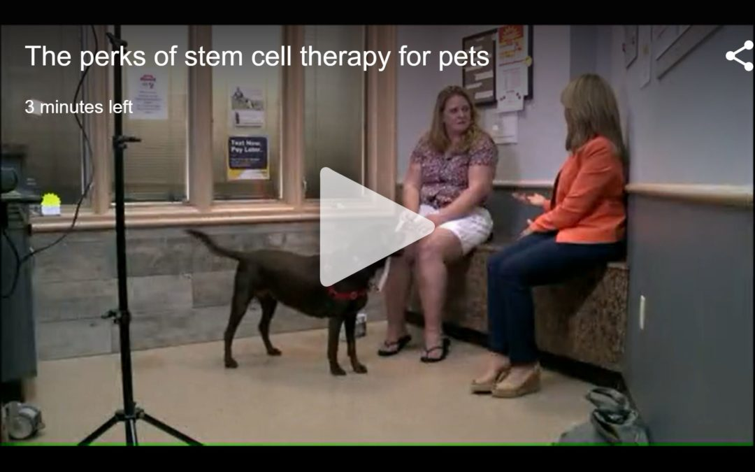 Video: Metro veterinarian and his furry patients seeing benefits of stem cell therapy for arthritis